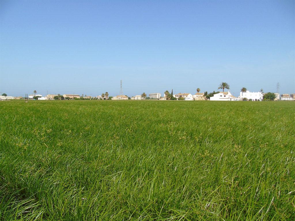 Cultivo de chufa en la Huerta de Alboraia